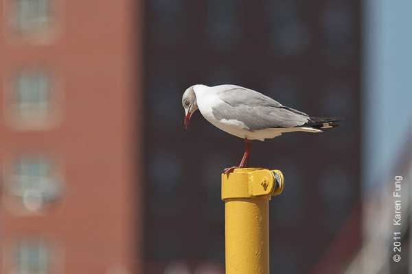 30 July: Gray-hooded Gull at Coney Island Beach, Brooklyn