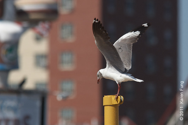 """30 July: Gray-hooded Gull at Coney Island Beach, Brooklyn. """"Mirrors"""" visible on P9 and P10."""