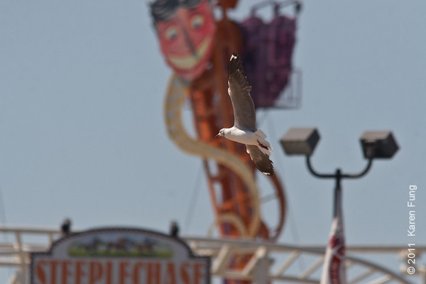 30 July: Gray-hooded Gull flying towards the Steeplechase at Coney Island, Brooklyn