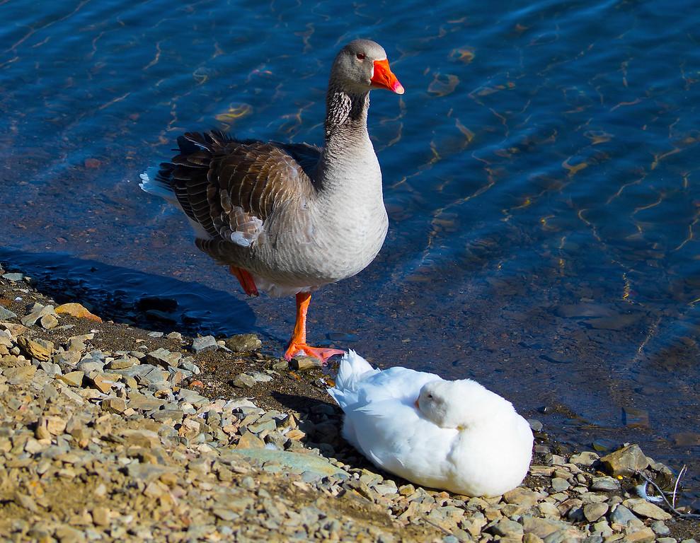 Graylag Goose & White Peking Duck