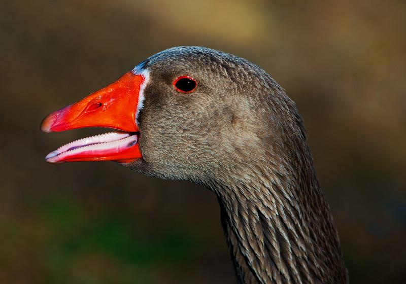 Graylag (Barnyard) Goose