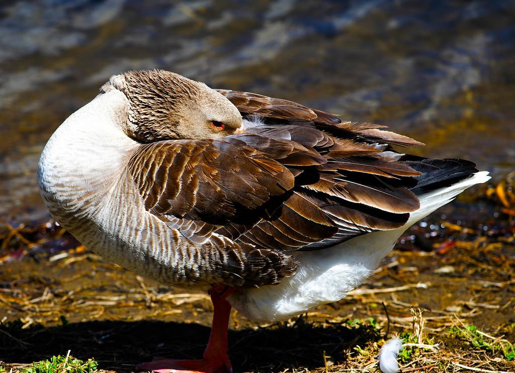 Male Graylag (Barnyard) Goose