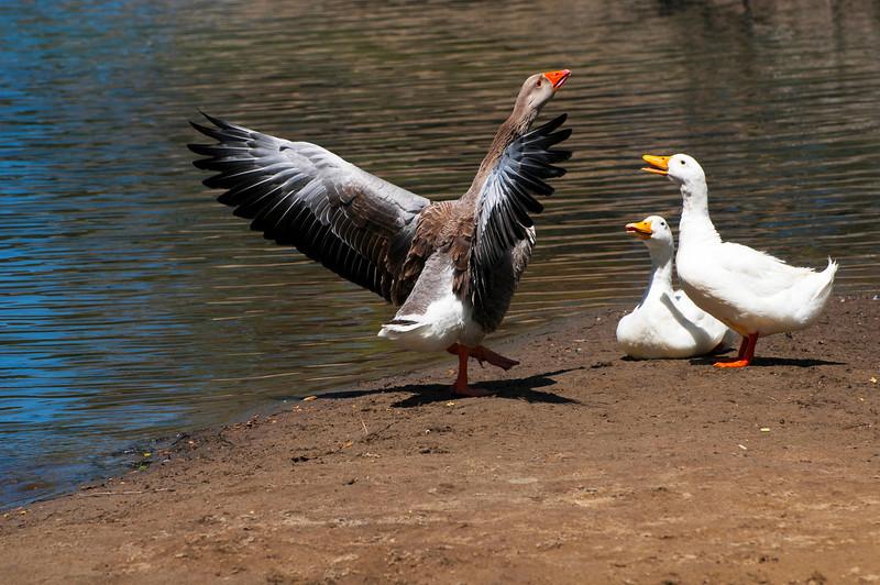 Male & Female Graylag (Barnyard) Geese