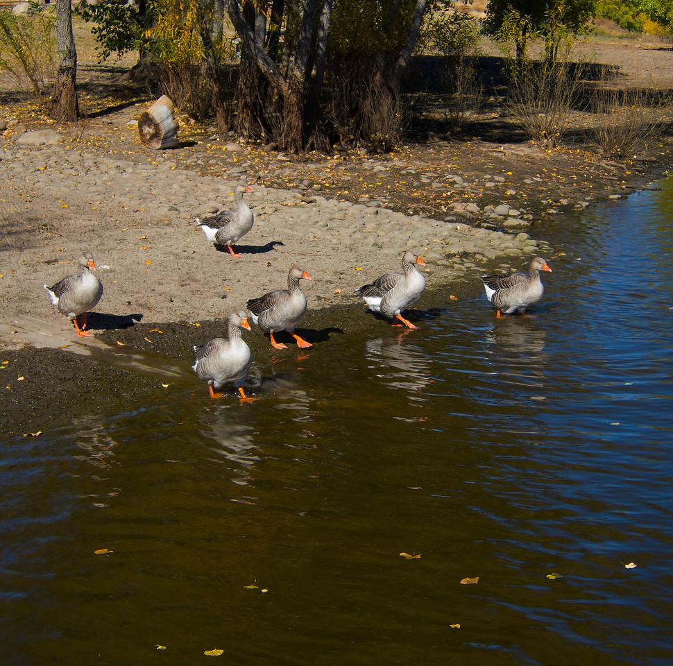 Graylag (Barnyard) Geese