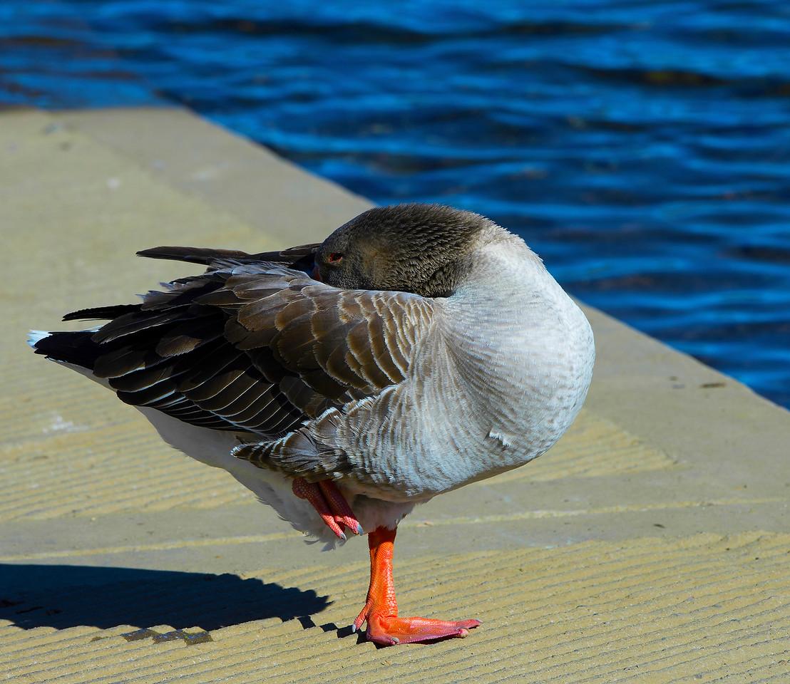 Adult Male Graylag (Barnyard) Goose