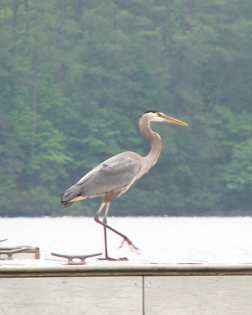 Great Blue Heron and Cormorant 8X10 Crops