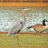 Foreground - Great Blue Heron <br /> Background - Canada Goose