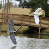 Great Blue Heron and Great Egret in flight