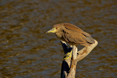 Black-crowned Night Heron in rare plumage