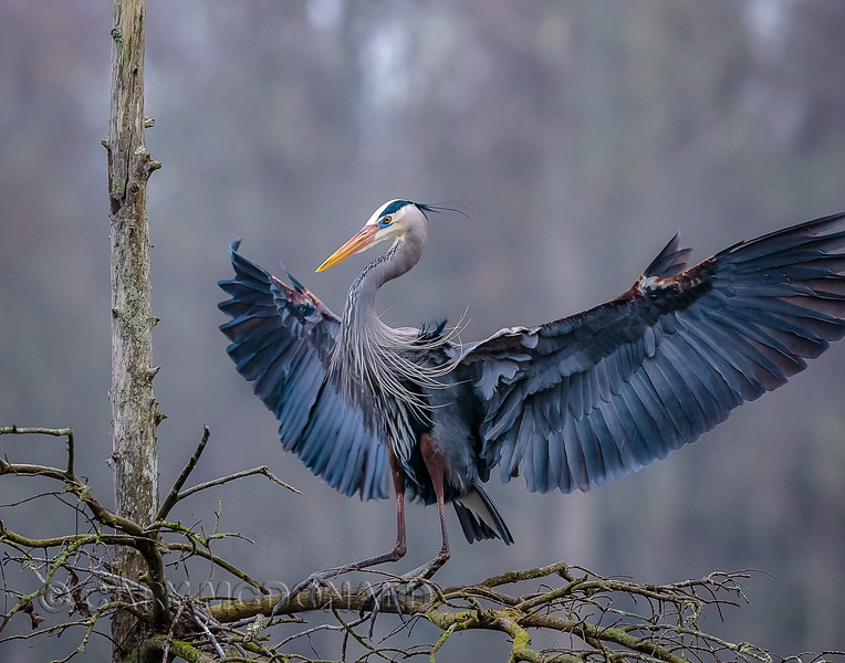 Color in the angle and light for the great blue heron