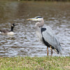 Great Blue Heron with Canadian Geese in the background