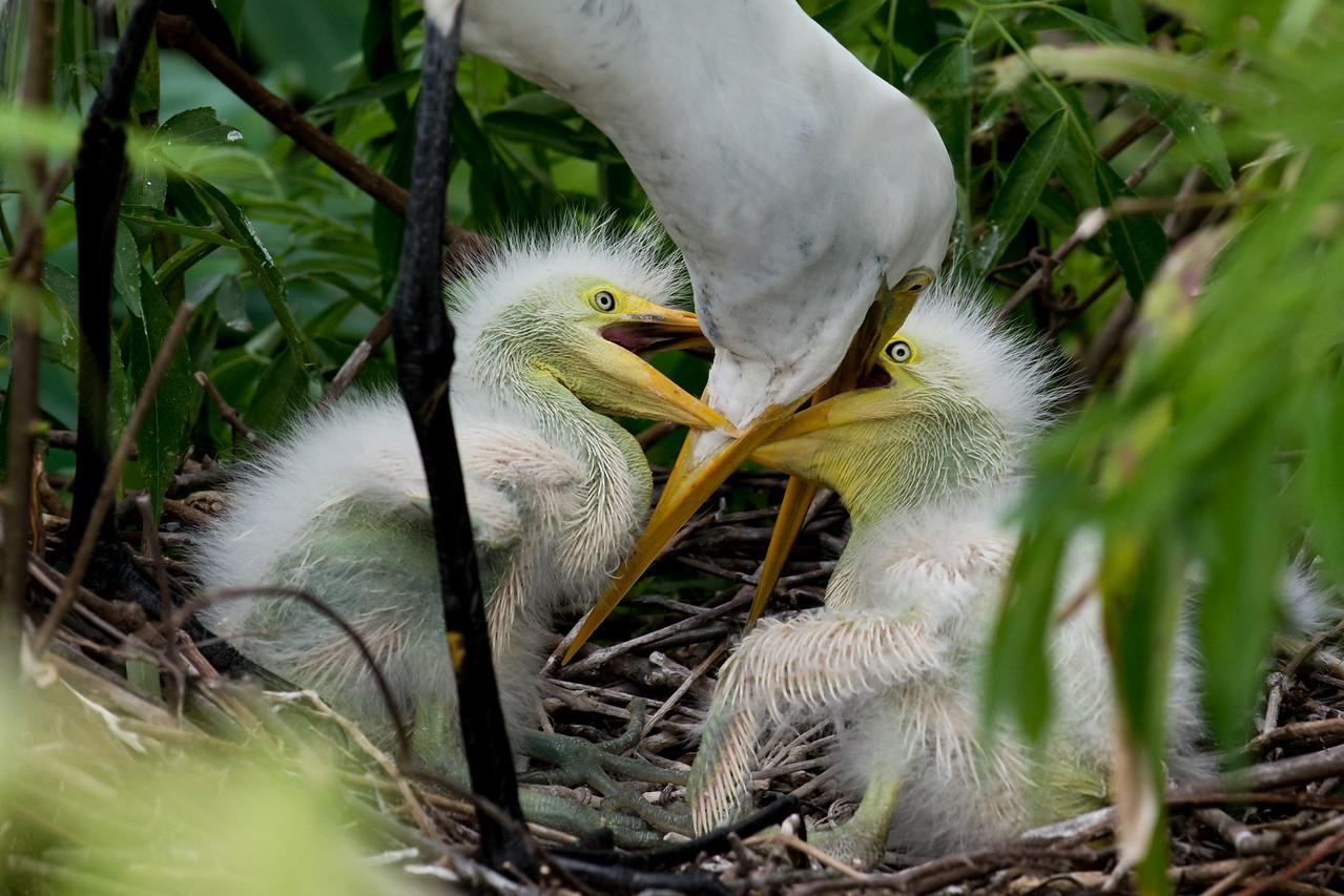 Great Egret's Nest