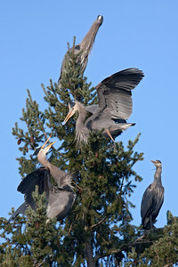 Two Great Blue Herons in a animated dispute!