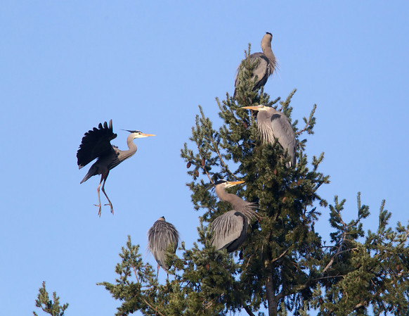 Great Blue Herons in a Rookery Dispute