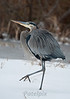 Dancing in the Snow<br /> Great blue heron<br /> Blackwater NWR, Maryland, 2010