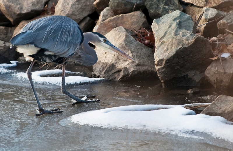 Walking on water is easy if you time it right!!!<br /> Great blue heron fishing<br /> Blackwater NWR, Maryland, 2010