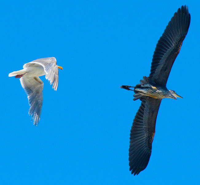 Great Blue Heron & Gull
