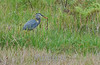 Great blue heron with snake<br /> Panama, 2010