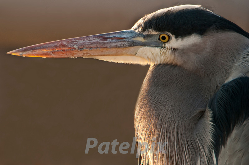 """""""Lethal Weapon""""<br /> Great blue heron<br /> Blackwater NWR, Maryland, 2010"""