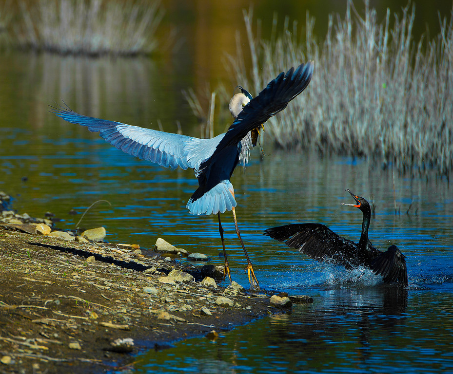 Great Blue Heron & Double-crested Cormorant