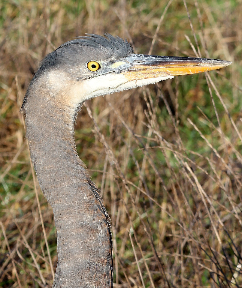 One Year Old Great Blue Heron