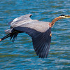 Great Blue Herons : I recommend that you click on the slide show button at the top right side of this page to sit back and enjoy the fine art show. When the slide show begins, I suggest that you click on Hide Captions to view the images unencumbered by text. You can click on the 'Slow,' 'Medium,' or 'Fast' button for your speed preference.