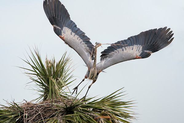 Great Blue Heron Stealing Nesting Material