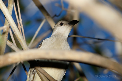 Great Bowerbird