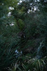 Great Egret, Haskel Creek.