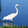 Great Egret (Male)<br /> The green color around the eye appears on a male during breeding season.
