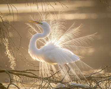 Egret on display at Magnolia Gardens