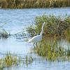 Great Egret in the Tybee Island marsh