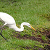 The Great Egret in hunting mode