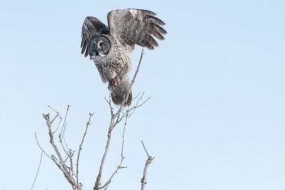 _MG_0503 - Great Gray Owl