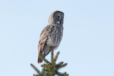 Gray Owl Manitoba
