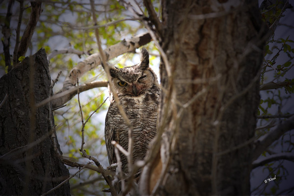 BV 07MY4618  Great-horned Owl (Bubo virginianus).  One of the only species in the world that preys on skunks