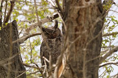BV 07MY4624 Great-horned Owl (Bubo virginianus).