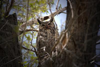 BV 07MY4600  Great-horned Owl (Bubo virginianus).