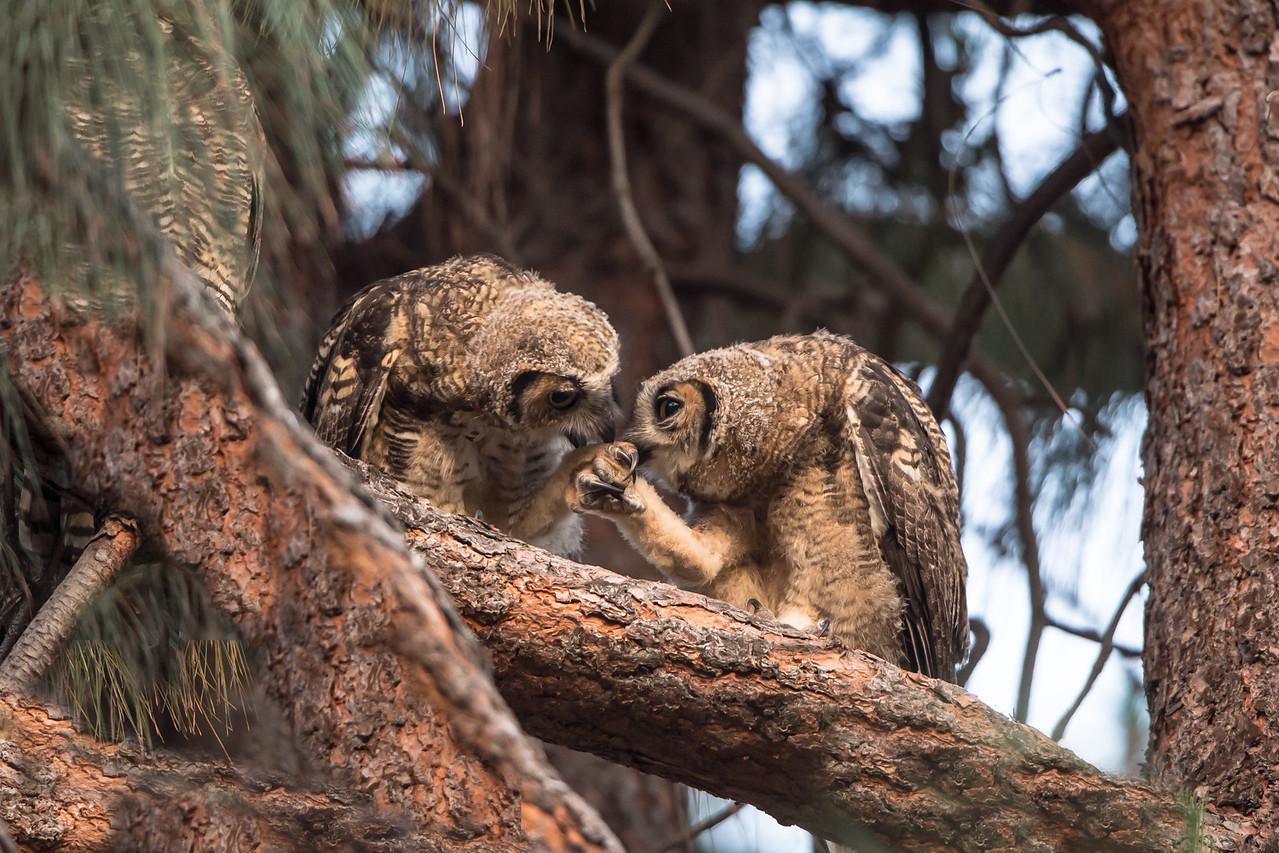 Owlets reunite at sunrise. Mother owl on-guard upper left, 1-June-2013