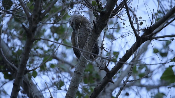 Owlet wing stretch while branching 4 feet above the nest, 8-Apr-2014.