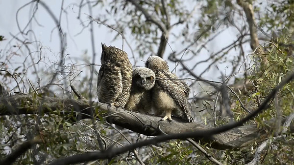 Great Horned Owl Videos (2013 & 2014)