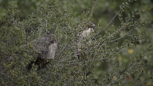 Great Horned Owl faces off with Red-Tailed Hawk (Young Adults)