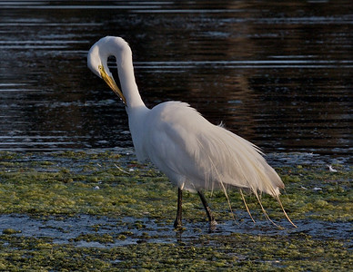 Great Egret, preening