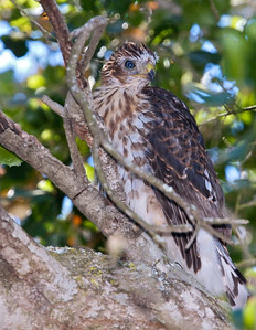 Cooper's Hawk , young blue eyes