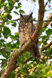 Great horned owl