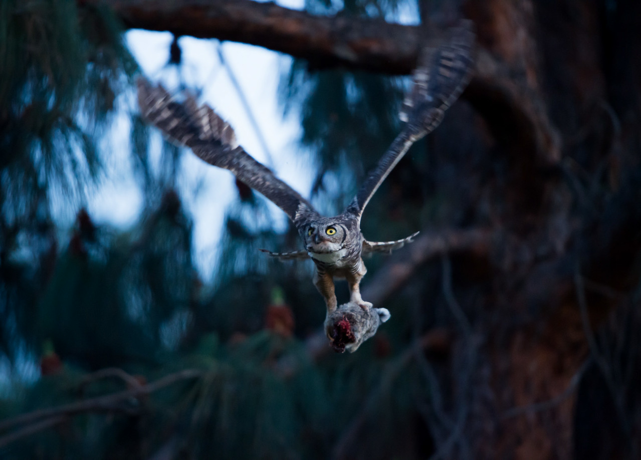 Mother owl bringing in a rabbit, 6-May-2014