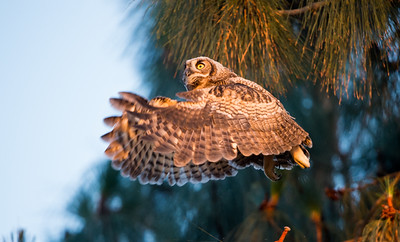 Solo, the singleton owlet at three months.