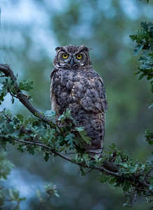 Mother Owl Sheba at 2.5 yrs on June 27,2015.