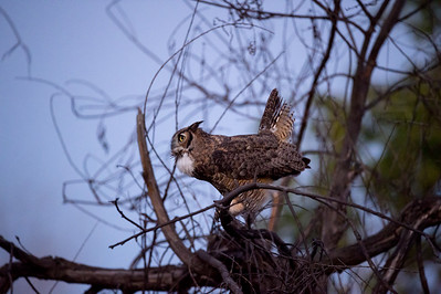 Papa Owl, South Reserve, October 11, 2015.