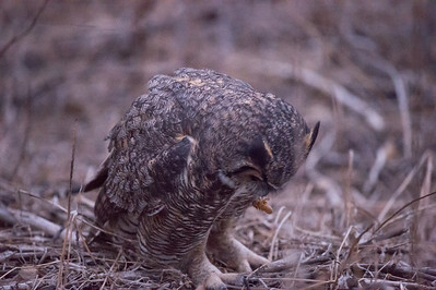 Great Horned Owl with a Jerusalem Cricket.